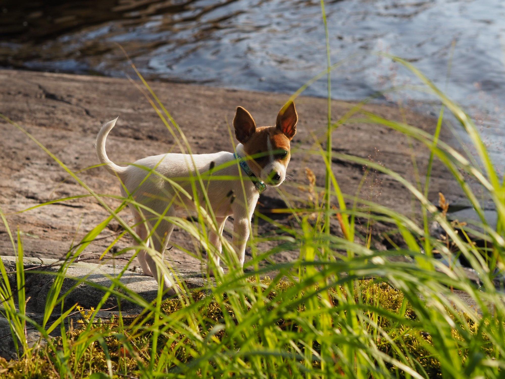 pippa-koira